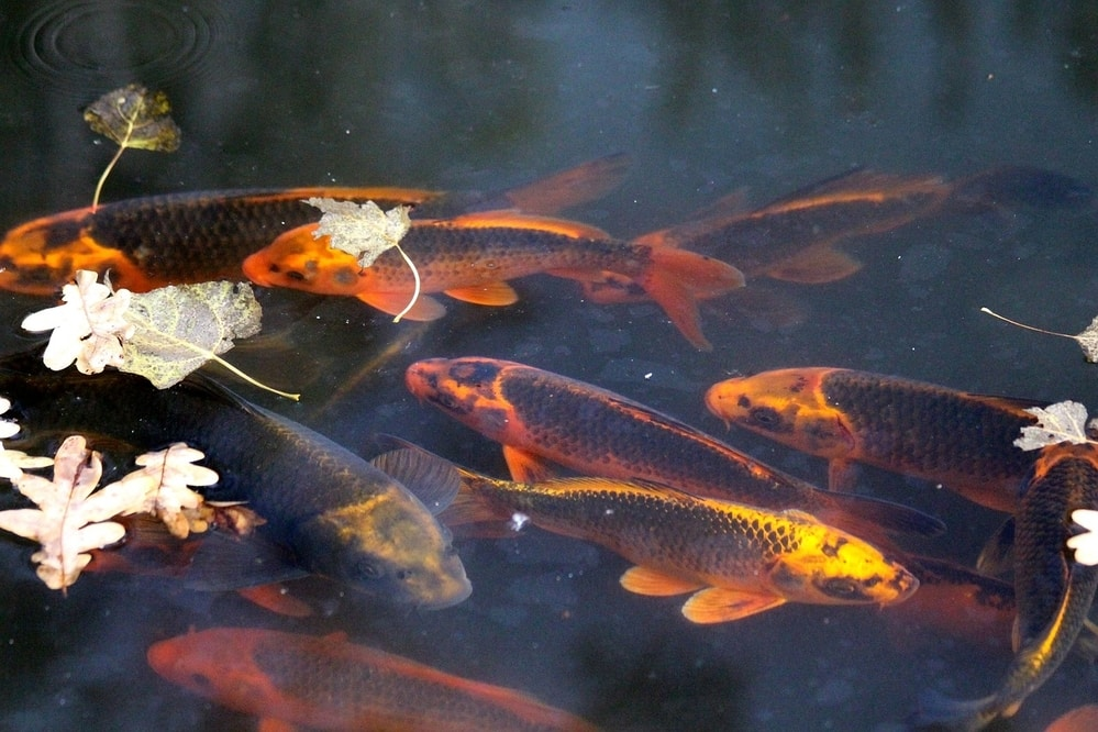 koi are hardy fish that can thrive in a pond